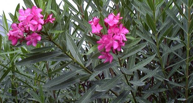Nerium olenader (EM De Capitani -  - CIATox de Campinas)