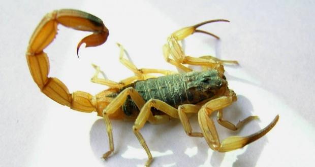 Tityus serrulatus (Ronan Vieira -  - CIATox de Campinas)